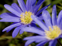 Blue Windflowers - Duet. Two Blue Flowers Closeup Stock Photo