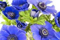 Blue windflowers on white background Royalty Free Stock Images