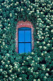 Blue Window in Ivy. Blue window in an ivy-covered brick building royalty free stock photos