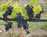 Blue wine grapes. Fresh blue grapes (Vitis vinifera) just before manual harvest Royalty Free Stock Photo