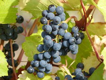 Blue wine grapes. Vineyard with fresh blue grapes (Vitis vinifera) just before manual harvest Royalty Free Stock Photography
