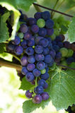 Blue Wine Grapes Royalty Free Stock Image