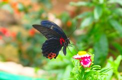 Blue wing red spotted butterfly and tropical flowers