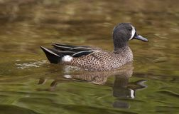 Blue-wing Teal Duck Stock Photos
