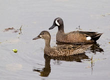 Blue wing teal pair Royalty Free Stock Photo