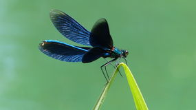 Blue-winged Demoiselle Calopteryx virgo Stock Images