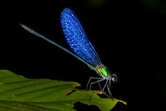 Blue Winged Dragonfly Stock Photography