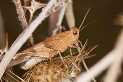 Blue-winged grasshopper Stock Images