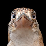 Blue Winged Kookaburra stock image