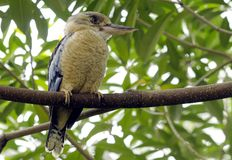 Blue-winged Kookaburra Stock Images
