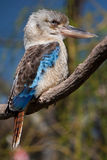 Blue-winged Kookaburra Stock Photos