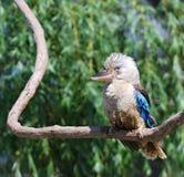 Blue-winged Kookaburra Royalty Free Stock Images