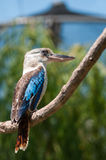 Blue-winged kookaburra Royalty Free Stock Image