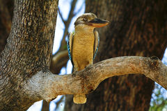 Blue-winged Kookaburra Royalty Free Stock Image