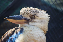 Blue Winged Kookaburra Close Up Royalty Free Stock Photos
