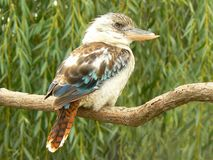 Blue-winged kookaburra Dacelo leachii Stock Photos