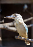 Blue-winged Kookaburra (Dacelo leachii) bird Royalty Free Stock Photo
