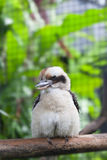 Blue-winged kookaburra kingfisher Royalty Free Stock Image