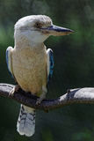 Blue-winged kookaburra Stock Photo