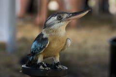 Blue winged Kookaburra Royalty Free Stock Photography