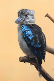 Blue-winged kookaburra Royalty Free Stock Photography