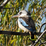 Blue-winged kookaburra Stock Photos