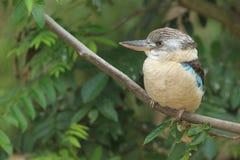 Blue-winged kookaburra Stock Photography