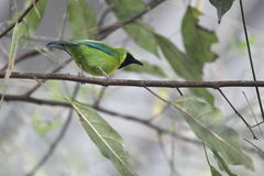 Blue-winged leafbird Royalty Free Stock Images