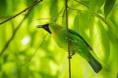 Blue-winged Leafbird Stock Photo