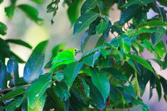 Blue-winged Leafbird Stock Images