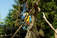 Blue winged macaw sitting in the tree stock photo