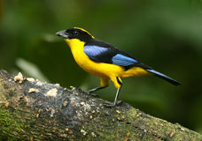 Blue-winged Mountain-Tanager Stock Photos
