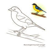 Blue winged mountain tanager color book vector Royalty Free Stock Photo