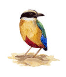 Blue-winged Pitta Royalty Free Stock Photography