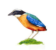 Blue-winged Pitta Royalty Free Stock Photos
