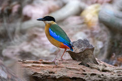Blue-Winged Pitta in background style Royalty Free Stock Images
