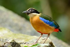 Blue-winged Pitta. Beautiful Blue-winged PittaPitta moluccensis inThai forest Royalty Free Stock Images