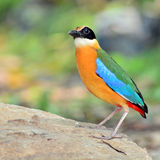 Blue winged Pitta bird Royalty Free Stock Photo