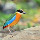 Blue winged Pitta bird Royalty Free Stock Images