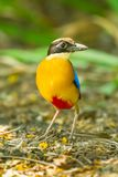 Blue-winged Pitta Stock Image