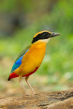 Blue-winged Pitta Stock Photos