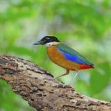 Blue-winged Pitta Royalty Free Stock Photos