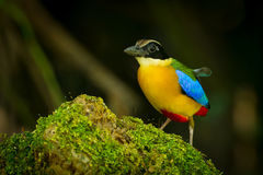 Blue-winged Pitta Stock Images