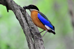 Blue winged Pitta Royalty Free Stock Images