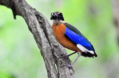 Blue winged Pitta Stock Photography