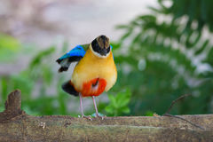 Blue-Winged Pitta beside my home Stock Image
