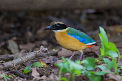 Blue-Winged Pitta beside my home Royalty Free Stock Photography