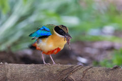 Blue-Winged Pitta beside my home Stock Photography