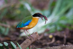 Blue-Winged Pitta beside my home Royalty Free Stock Photo