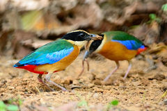 Blue-winged Pitta Royalty Free Stock Image